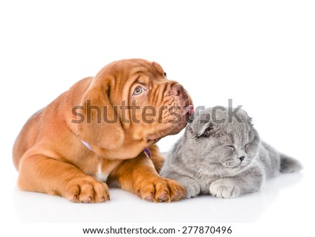Bordeaux puppy licking cat. isolated on white background #277870496