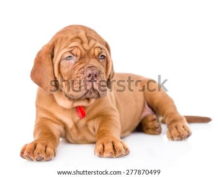 Bordeaux puppy dog lying. isolated on white background #277870499