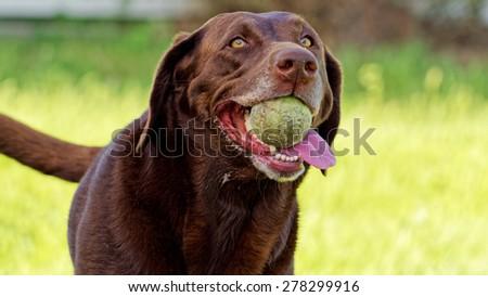 Labrador dog retrieving ball #278299916