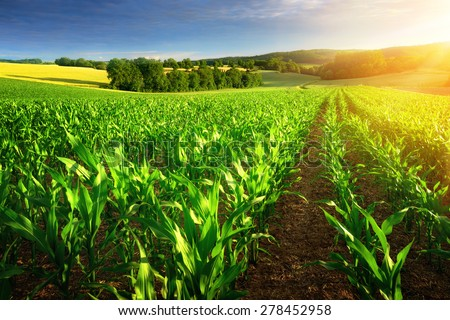 Rows of young corn plants on a fertile field with dark soil in beautiful warm sunshine, fresh vibrant colors Royalty-Free Stock Photo #278452958