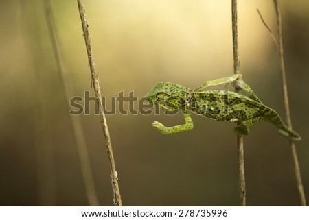 Beautiful green chameleon in African jungle #278735996