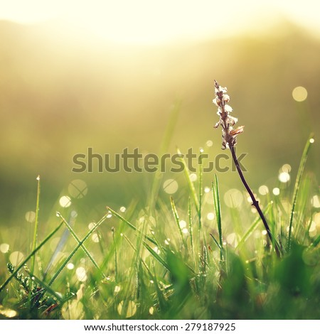Dry white flower in wet green grass. Fresh outdoor nature background #279187925