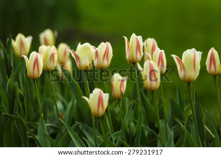 Spring meadow with tulip flowers #279231917