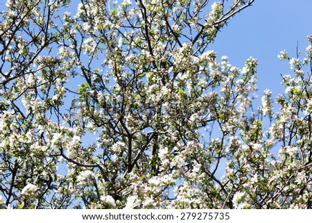 beautiful flowers on the branches of apple trees #279275735