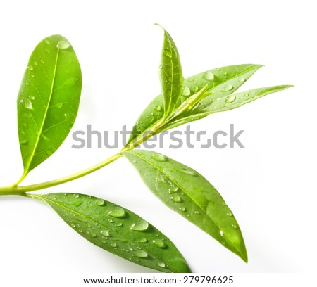 Tea tree (Thea sinensis). The leaves have been used in alternative medicine and other medical systems to treat asthma, angina pectoris, peripheral vascular disease, and coronary artery disease. #279796625