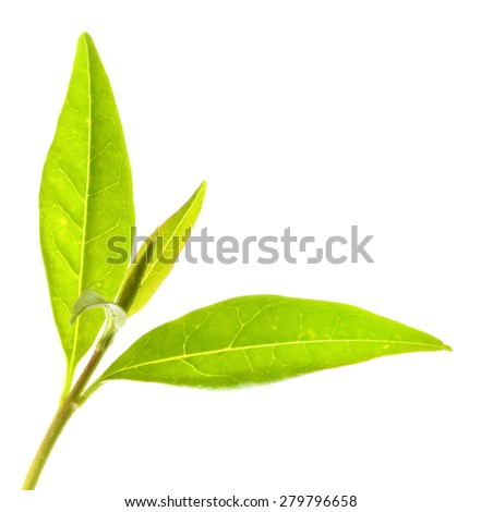 Tea tree (Thea sinensis). The leaves have been used in alternative medicine and other medical systems to treat asthma, angina pectoris, peripheral vascular disease, and coronary artery disease. #279796658
