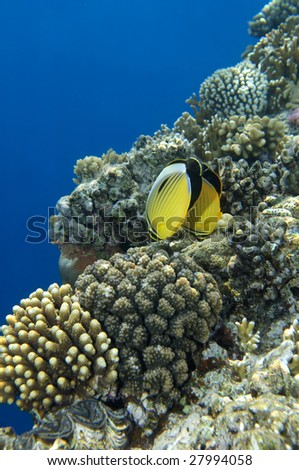 Couple of beautiful yellow tropical fish. #27994058