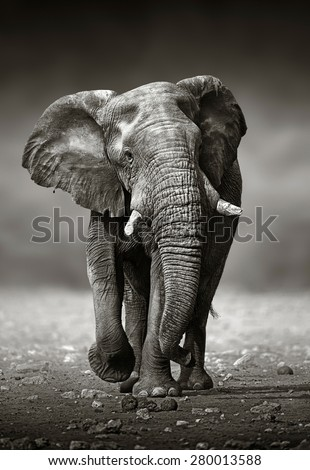 African Elephant (Loxodonta Africana) approach from the front -  Etosha National Park (Namibia)