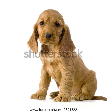 English Cocker Spaniel puppy in front of a white background #2801822
