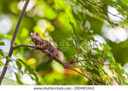 Close up view of Madagascar Lizard sitting on the branch #280483463