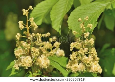 Flowers chestnut #280507919
