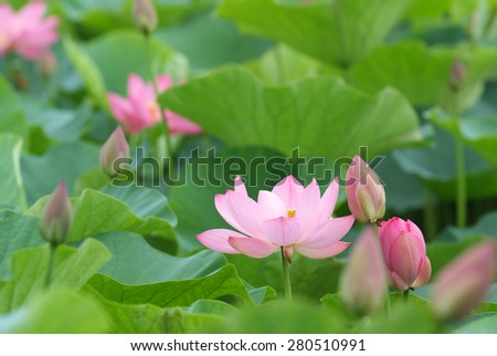 Blooming lotus in the morning #280510991