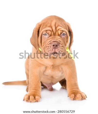 Portrait of a Bordeaux puppy sitting in front view. isolated on white background #280556729