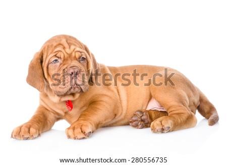 portrait of lying Bordeaux puppy dog. isolated on white background #280556735