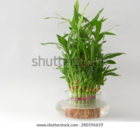 Bamboo House Water Plant on a kitchen plate isolated with lot of empty space for text messages #280596659