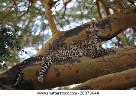 leopard on the tree, Kenya #28073644