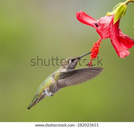 Hummingbird taken at during mid-flight ,humming, eating nectar #282023651