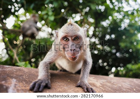 monkey macaque siting on the stone close up. Monkey temple in Bali #282170966