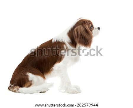 pure-bred dog, puppy Cavalier King Charles Spaniel, sit on white background, isolated #282579944