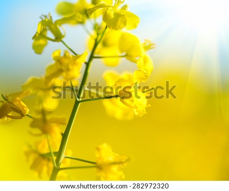 Blooming canola flowers close up. Rape on the field in summer. Bright Yellow rapeseed oil. Flowering rapeseed. #282972320