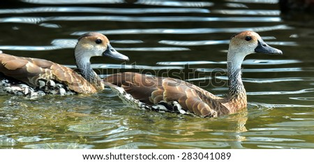 West Indian Whistling-duck Dendrocygna arborea swimming in the watter #283041089