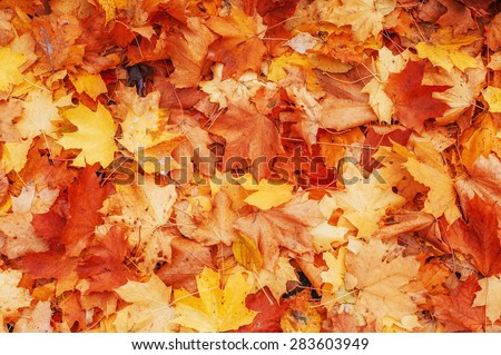 Yellow, orange and red autumn leaves in fall park.  #283603949