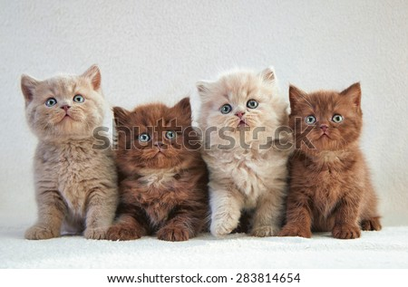 four various british kittens sitting on beige plaid #283814654