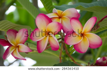 Thailand native pink colour with yellow pollen Plumeria fragant flowers on the tree #284361410