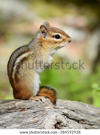 Adorable little chipmunk keeping watch on his territory #284592938
