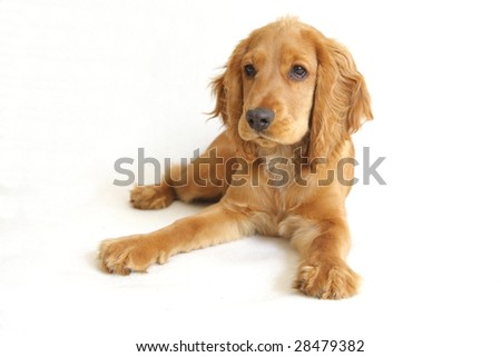 English Cocker Spaniel puppy in front of a white background #28479382