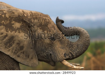 Close up of an african elephant trumpeting