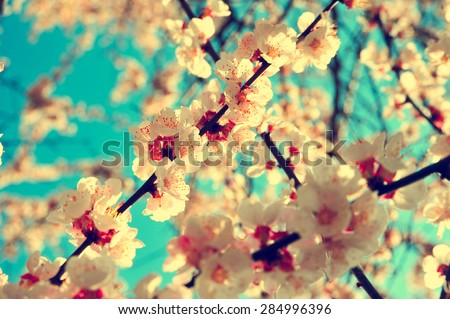 Apricot tree branch with flowers. Blooming tree branch with pink flowers. Floral flowers modern nature background with vintage and retro branch tree with beautiful flowers. Vintage flowers background. #284996396