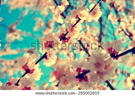 Apricot tree branch with flowers. Blooming tree branch with pink flowers. Floral flowers modern nature background with vintage and retro branch tree with beautiful flowers. Vintage flowers background. #285002819