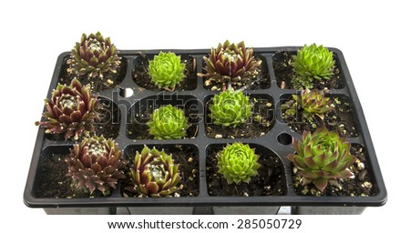 Tray of succulent plants for sale #285050729