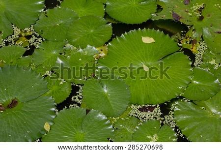Lotus leaf in pond. #285270698