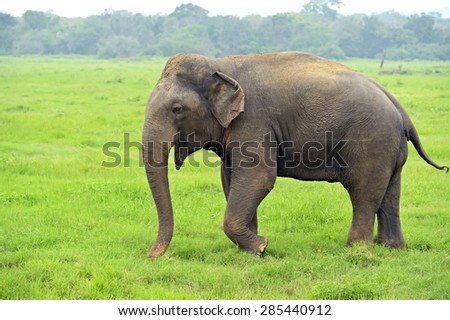 Elephant in the wild on the island of Sri Lanka Royalty-Free Stock Photo #285440912