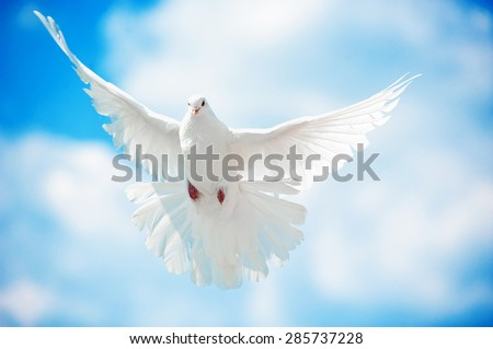 Dove in the air with wings wide open in-front of the sun #285737228