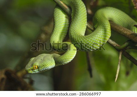 Green Snake in rain forest. Royalty-Free Stock Photo #286066997