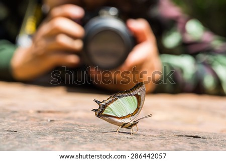 Close up of Emerald Nawab or Indian Yellow Nawab (Polyura jalysus) butterfly puddling on the ground in nature with a photographer in background