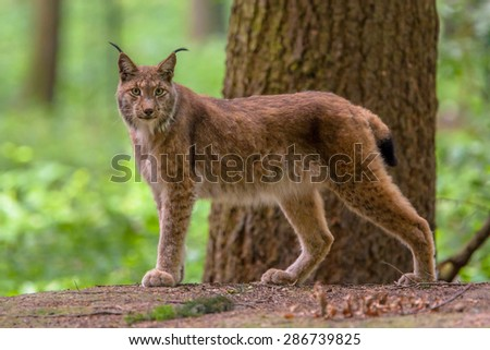 Eurasian lynx (Lynx lynx) is a medium-sized cat native to European and Siberian forests #286739825