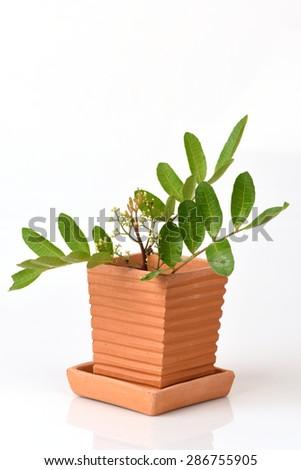 Brazilian Pepper-tree (Schinus terebinthifolius), fresh vegetables, medicinal properties.  #286755905