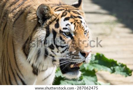threat grinning tiger #287062475
