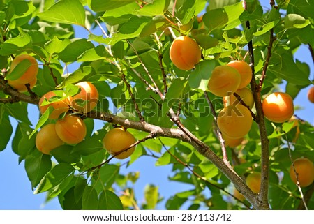 Branch of an apricot tree with ripe fruits #287113742