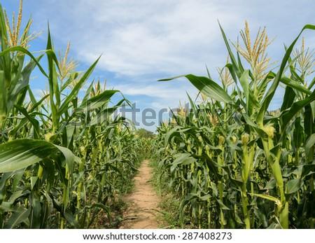 Green corn field in Thailand #287408273