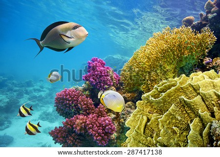 Underwater scene with coral reef and fish photographed in shallow water, Red Sea, Marsa Alam, Egypt                                #287417138