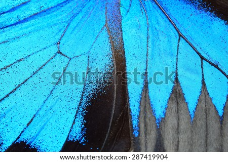 Blue butterfly wing, nature pattern texture background Royalty-Free Stock Photo #287419904