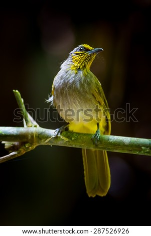 Close up portrait of Stripe-throated Bulbul(Pycnonotus finlaysoni) in nature at Khao Yai National Park,Thailand #287526926