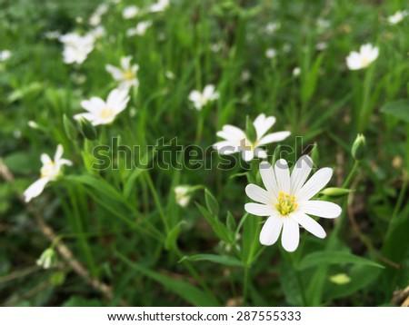 White Spring Forest Flower Caryophillaceae Stellaria #287555333