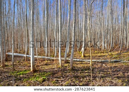 Aspen forest in the early spring in Estonia #287623841