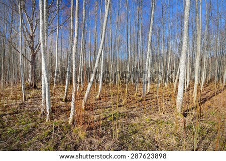 Aspen forest in the early spring in Estonia #287623898